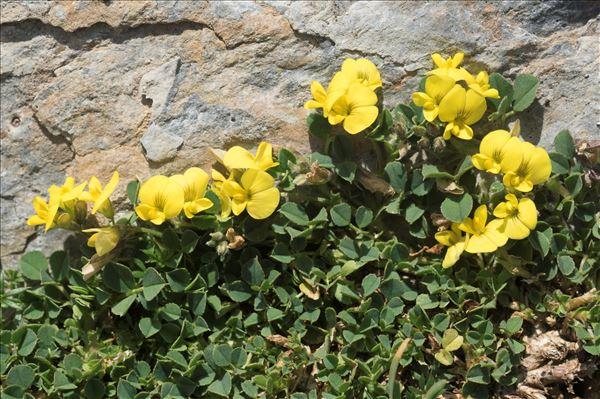 Medicago suffruticosa Ramond ex DC. subsp. suffruticosa
