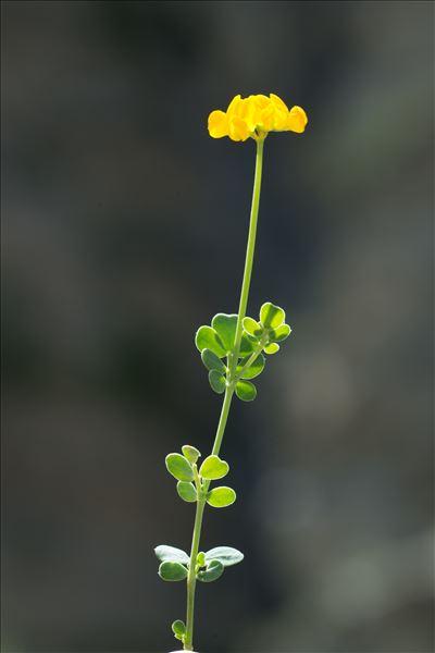 Coronilla minima L. subsp. minima