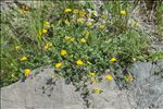 Photo 3/5 Coronilla minima L.