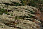 Melica ciliata subsp. magnolii (Godr. & Gren.) K.Richt.