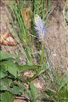 Photo 2/2 Phyteuma spicatum subsp. alpestre (Godr.) Kerguélen