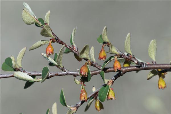 Cotoneaster pyrenaicus Gand.