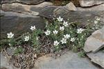 Minuartia cerastiifolia (Ramond ex DC.) Graebn.