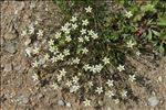 Minuartia recurva (All.) Schinz & Thell.