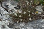 Photo 6/6 Minuartia rostrata (Pers.) Rchb.