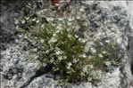 Photo 5/6 Minuartia rostrata (Pers.) Rchb.