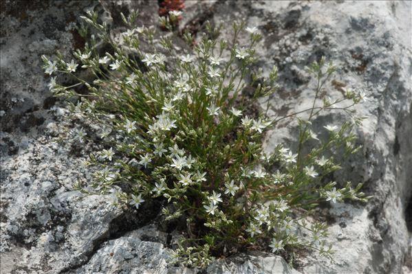 Minuartia rostrata (Pers.) Rchb.