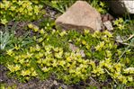 Minuartia sedoides (L.) Hiern