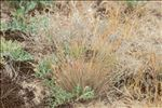 Corynephorus canescens (L.) P.Beauv.