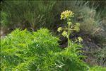 Molopospermum peloponnesiacum (L.) W.D.J.Koch