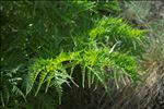 Molopospermum peloponnesiacum (L.) W.D.J.Koch subsp. peloponnesiacum