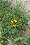Photo 1/1 Morisia monanthos (Viv.) Asch.
