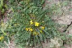 Morisia monanthos (Viv.) Asch.