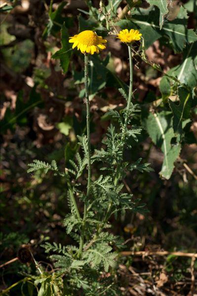 Cota tinctoria subsp. australis (R.Fern.) Oberpr. & Greuter