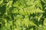 Photo 1/12 Myrrhis odorata (L.) Scop.
