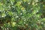Photo 1/2 Myrtus communis L.