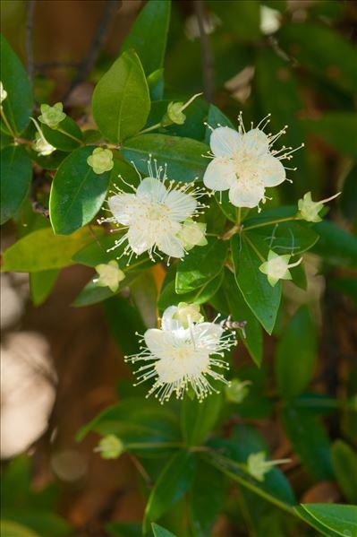 Myrtus communis L.