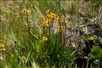 Narthecium ossifragum (L.) Huds.