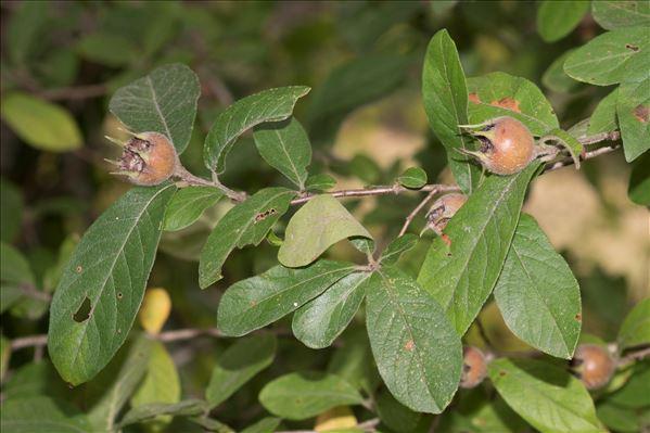 Crataegus germanica (L.) Kuntze