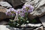 Noccaea rotundifolia (L.) Moench