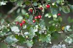 Photo 5/5 Crataegus laevigata (Poir.) DC.