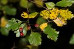 Photo 1/5 Crataegus laevigata (Poir.) DC.