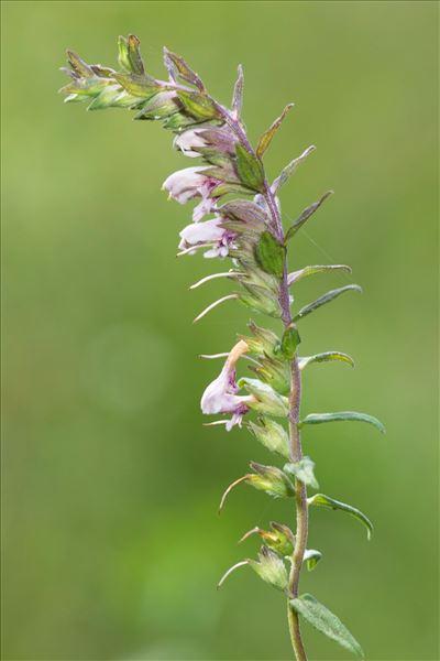 Odontites vernus subsp. serotinus (Coss. & Germ.) Corb.