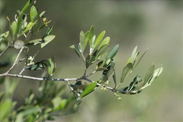 Olea europaea L. subsp. europaea