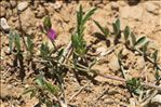 Onobrychis caput-galli (L.) Lam.