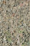 Onobrychis saxatilis (L.) Lam.