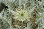 Onopordum illyricum L.