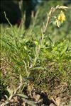 Photo 3/4 Onosma helvetica (A.DC.) Boiss.