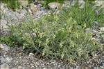 Onosma tricerosperma subsp. fastigiata (Braun-Blanq.) G.López