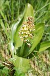 Orchis pallens L.