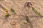 Ornithopus pinnatus (Mill.) Druce