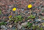 Photo 1/1 Crepis sancta (L.) Bornm.