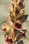 Photo 1/3 Orobanche gracilis Sm.