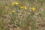 Crepis vesicaria subsp. taraxacifolia (Thuill.) Thell.