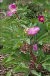Paeonia mascula (L.) Mill. subsp. mascula