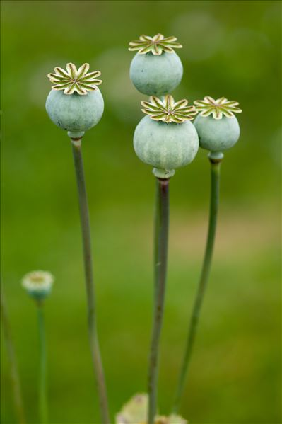 Papaver somniferum L.
