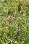 Photo 4/4 Pedicularis recutita L.