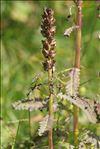 Photo 3/4 Pedicularis recutita L.