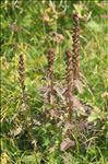 Photo 2/4 Pedicularis recutita L.