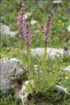 Pedicularis rostratospicata subsp. helvetica (Steininger) O.Schwarz