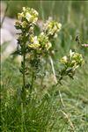 Pedicularis tuberosa L.