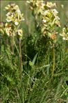 Pedicularis tuberosa L.