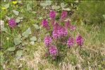 Photo 3/4 Pedicularis verticillata L.