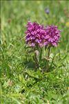 Pedicularis verticillata L.