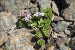 Petrocallis pyrenaica (L.) R.Br.