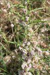 Cuscuta epithymum (L.) L.